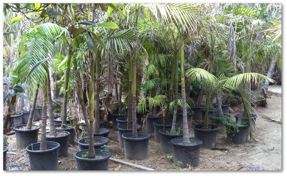 Listing Of The Many Palms We Have In Stock Queens Kings Pygmy Date Fishtail Palm Foxtail Guadalupe Washintonia Mediterranean Fan Mexican Blue